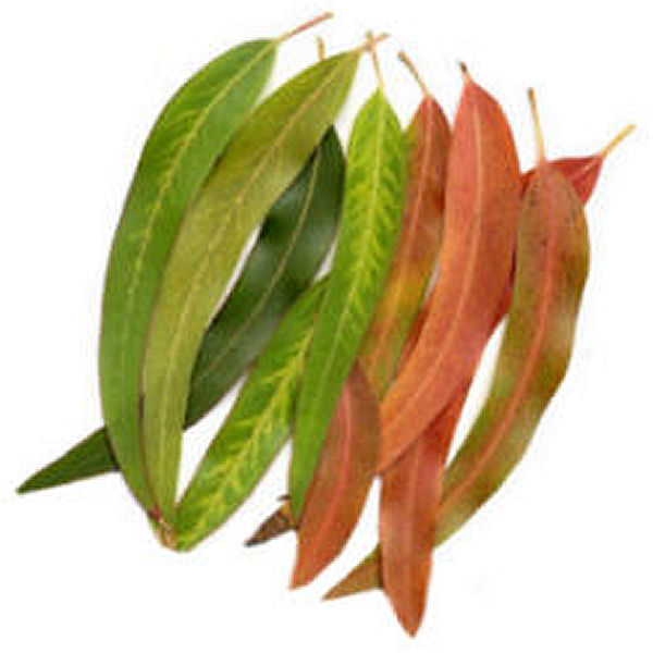 Eucalyptus Oil Health Benefits