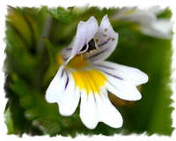 Eyebright (Euphrasia)