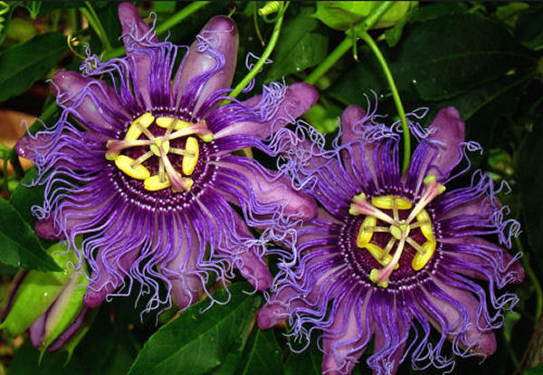 Passionflower Health Benefits and Remedies