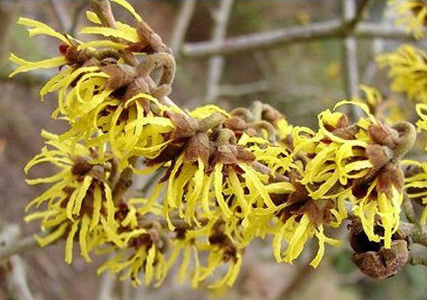 Witch Hazel Health Benefits